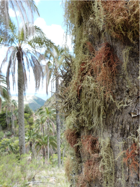 Lichens and bromeliads growing on the Janch'icoco palms. Image by Claire Wordley.