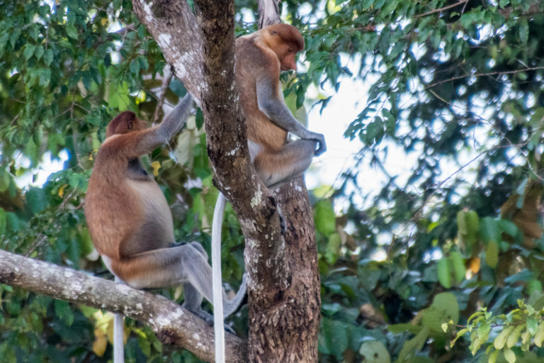 Proboscis monkeys in Malaysian Borneo. Image by John C. Cannon/Mongabay.