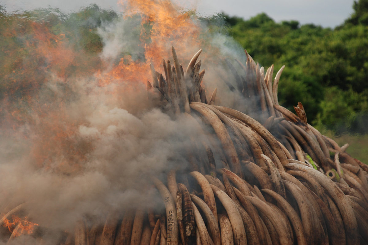 Burning confiscated elephant tusks, Kenya. Image by Kamweti Mutu via Flickr (CC BY-NC-ND-2.0)