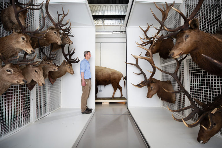 Dr Andrew Kitchener, the Principal curator for Vertebrates at the National Museum of Scotland, Edinburgh, pictured in the museum archives in Granton with taxidermy deer including the red deer (at left).