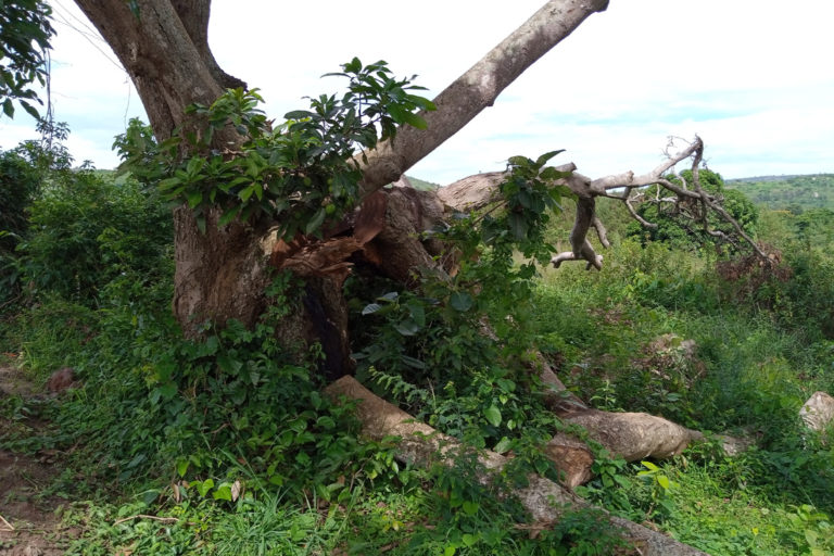 A mango tree with its branches cut down for charcoal production in Kibaale district uganda