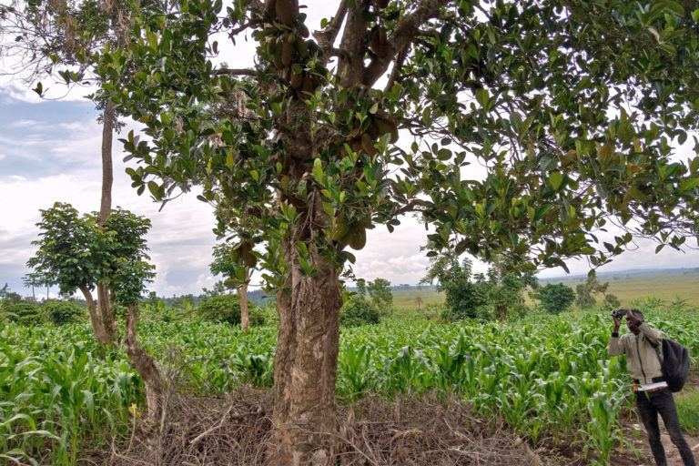 A jackfruit tree