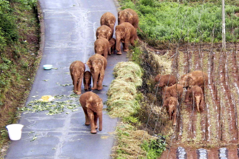 China's 'wandering elephants'. Credit: Yunnan Forest Fire Brigade via AP.