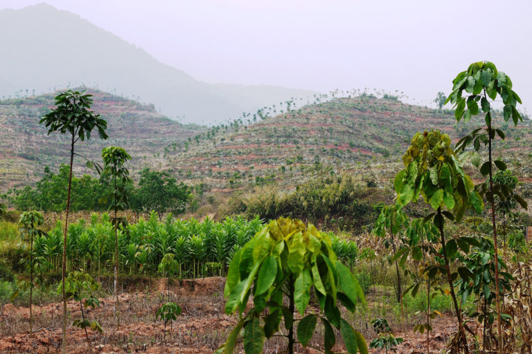 In southern China, most native rainforests have been felled for crops such as rubber-tree plantations, as shown here in the Xishuangbanna region. Credit: William Laurance.
