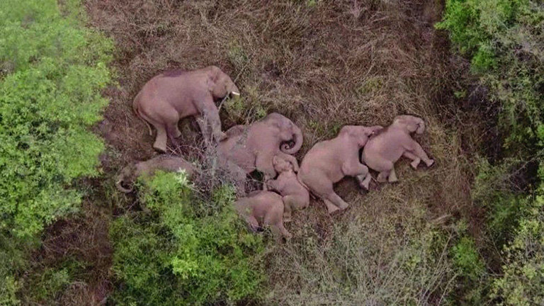 Herd of elephants sleeping. China Central Television (CCTV)