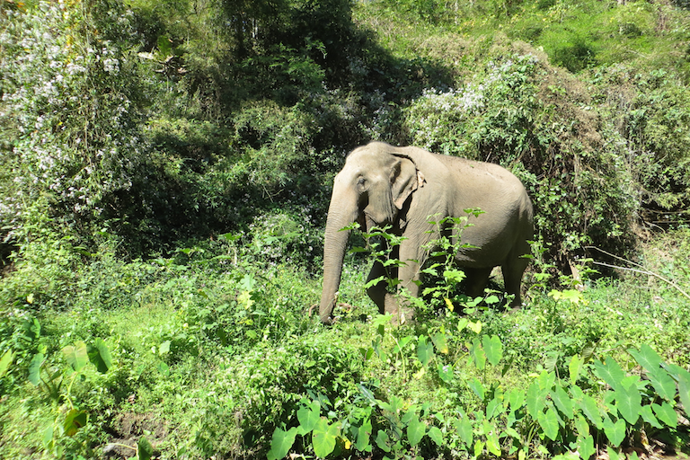 Retired Asian elephant Mae Dok at Burm and Emily's Elephant Sanctuary (BEES) in Mae chaem District, Thailand. Image courtesy of Merrill Sapp.