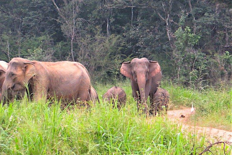 Wild Asian elephants at Wasgamuwa National Park, Sri Lanka. Image courtesy of Merrill Sapp.