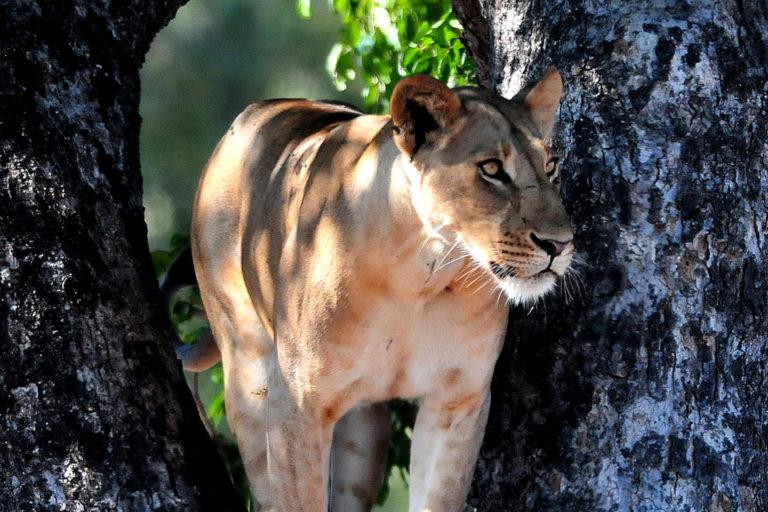 Niassa lions. Photo credit: Colleen Begg