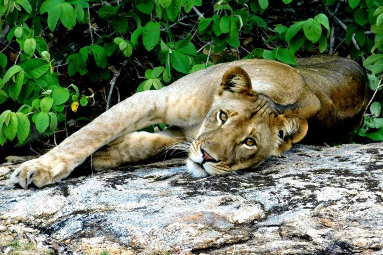 Niassa lions. Photo credit: Samuel Alberto