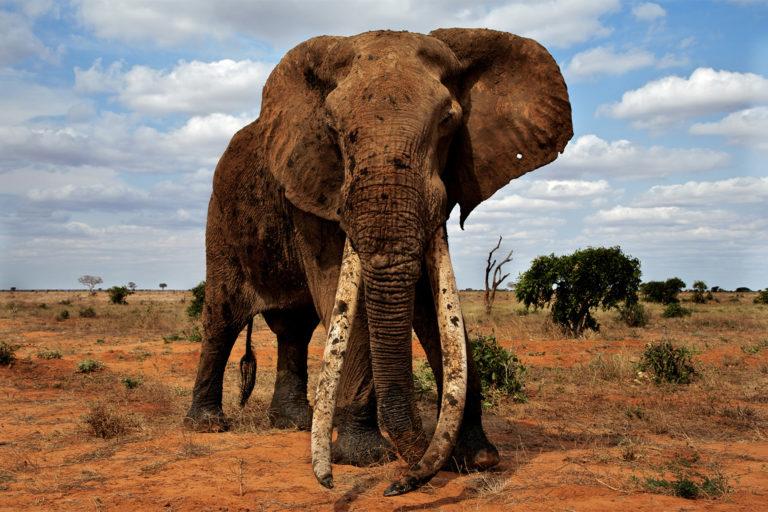 Murembo, a Great Tusker from Tsavo, Kenya's largest protected area. Image courtesy of Johan Marais.