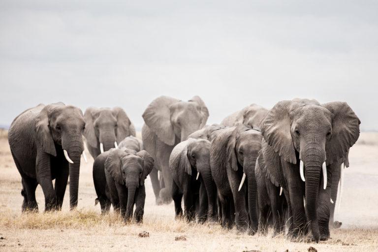 Elephants on the move. Image courtesy of David Giffin.
