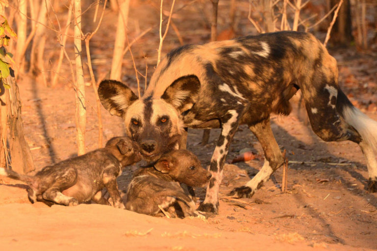 Wild dog. Photo credit: Niassa Carnivore Project NO RE-USE PERMITTED