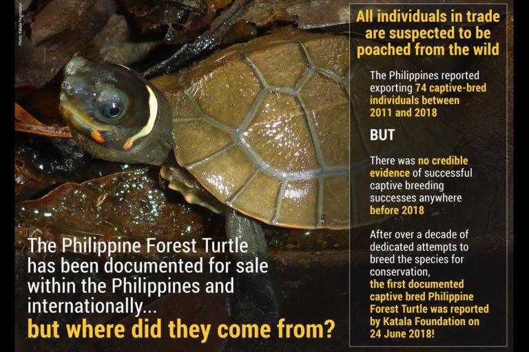 philippine-forest-turtle
