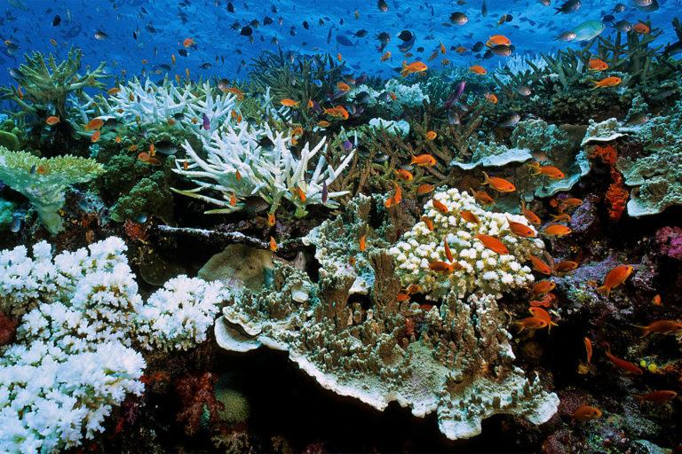 Les vagues de chaleur marines ont déjà entraîné des événements de blanchissement des coraux à grande échelle