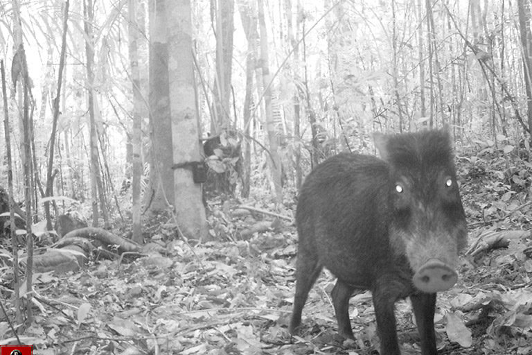 Camera trap of a tayassu peccary in the Amazon. Image credit: WCS