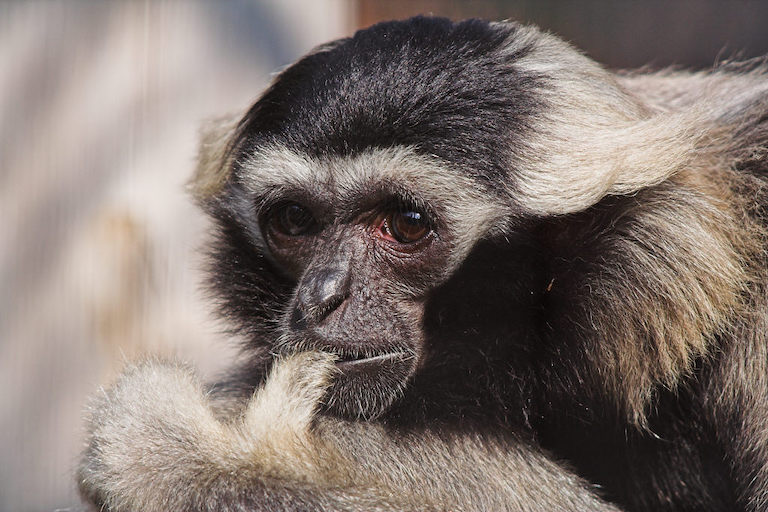 The pileated gibbon (Hylobates pileatus) is listed as endangered by the IUCN. Its primary threat is habitat destruction. Image by Su Neku via Wikimedia Commons (CC BY-SA 2.0).