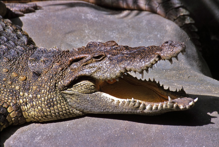 The critically endangered Siamese crocodile (Crocodylus siamensis) is one of the most endangered crocodiles in the world. The species' primary threat is habitat loss. Image by Bernard Dupont via Wikimedia Commons (CC BY-SA 2.0).