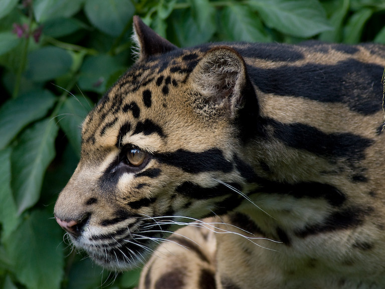 Clouded leopards (Neofelis nebulosa) are listed as vulnerable by the IUCN and have been extirpated from much of their former range in Cambodia. Image by Spencer right via Wikimedia Commons (CC BY-SA 2.0).