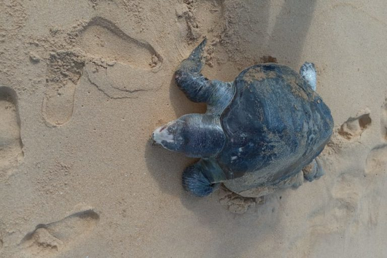 sri lanka ship turtles