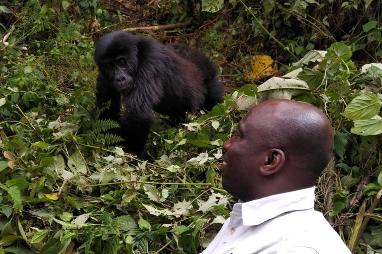 Dominique Bikaba with a troop of Grauer's gorillas in Kahuzi-Biega National Park pre-pandemic. Photo credit: Strong Roots Congo.