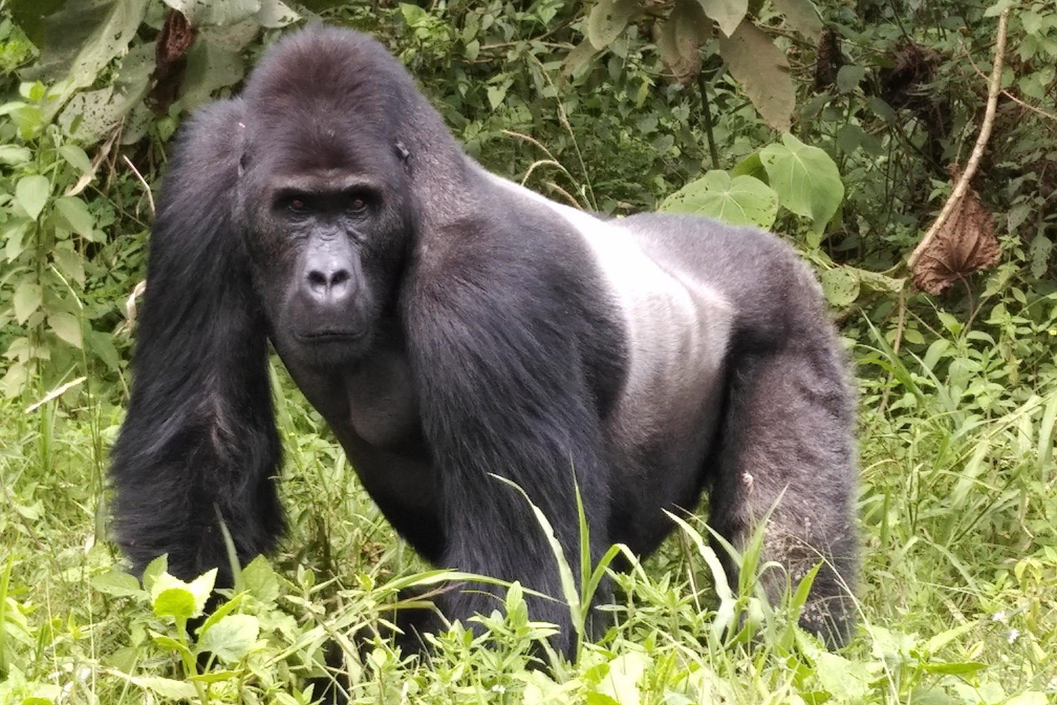 Silverback Grauer's gorilla in Kahuzi-Biega National Park. Photo credit: Strong Roots Congo.