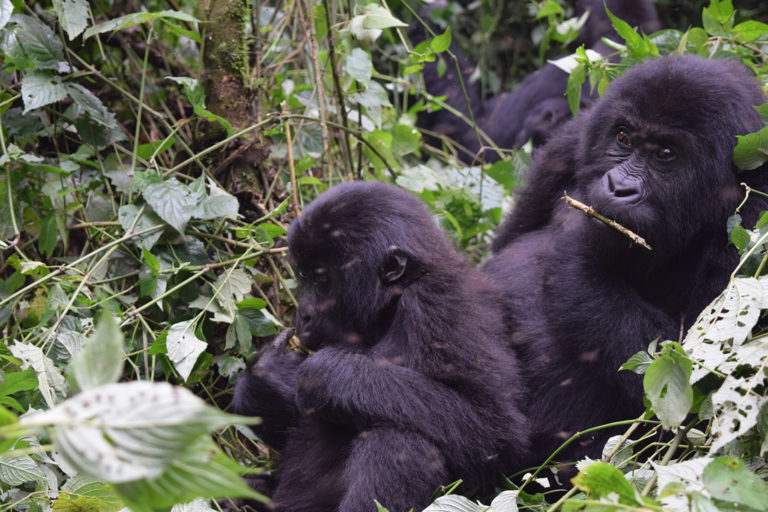 Grauer's gorilla troop in Kahuzi-Biega National Park. Photo credit: Strong Roots Congo.