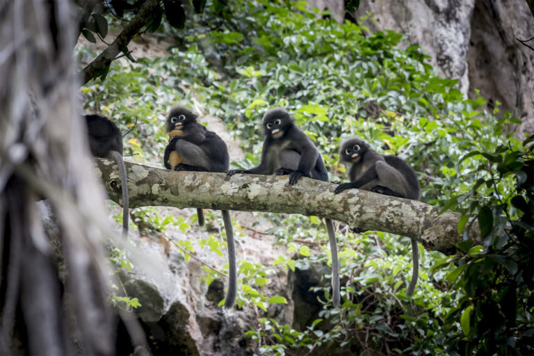 Dusky langurs (Trachypithecus obscurus). Surveys in the Som Forest Reserve, part of which will be cleared if the mine proceeds as planned, found the area is home to 26 mammal species protected under Malaysian law. Image by Erik_Karits via Pixabay (Public Domain).