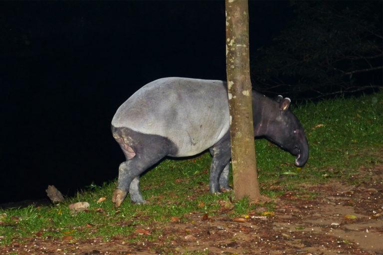 Tapirus-indicus