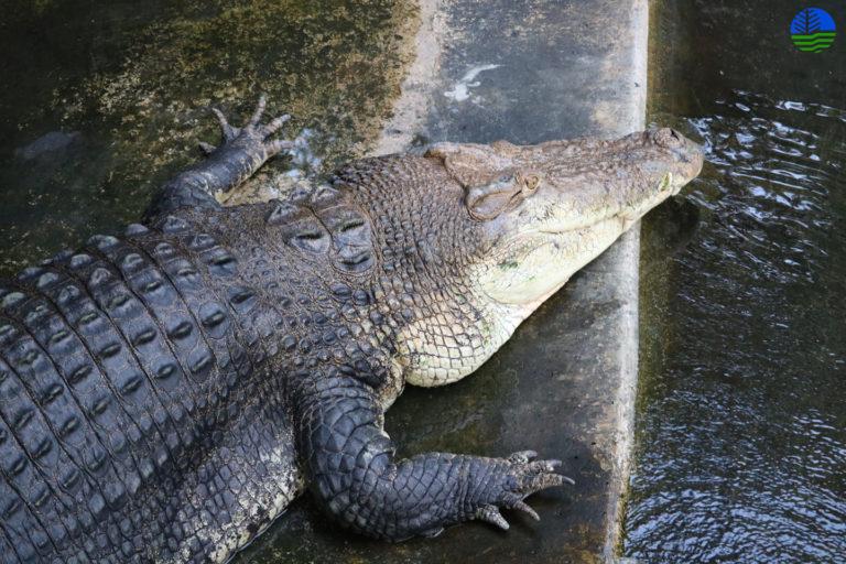 Zoutwaterkrokodil (Crocodylus porosus).  Afbeelding met dank aan het Palawan Wildlife Rescue Conservation Centre (PWRCC)