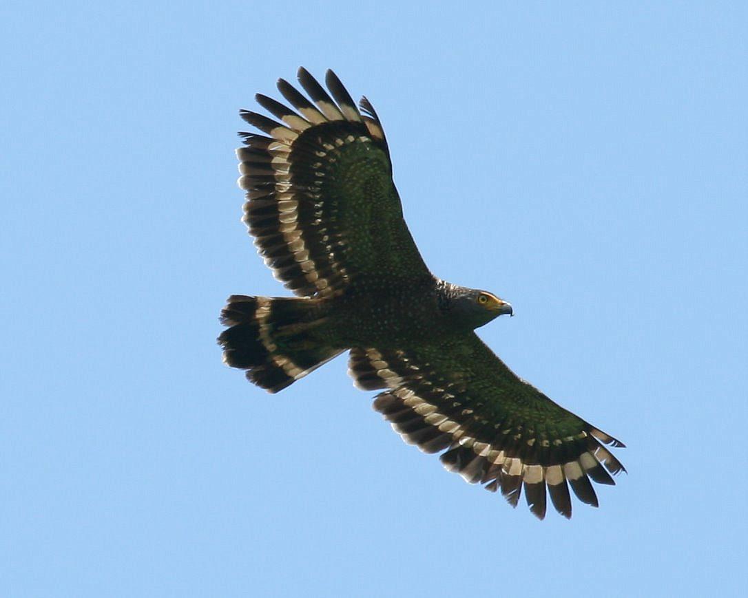 Philippine-Serpent-Eagle