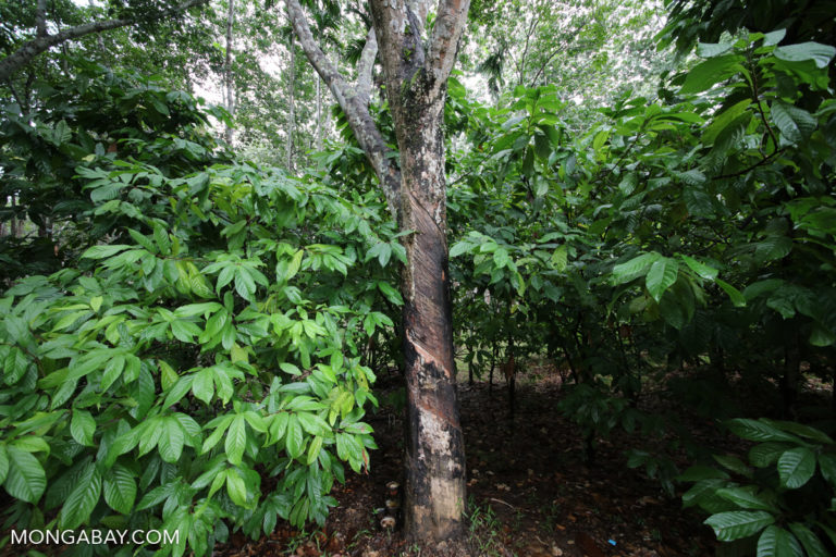 Rubber and coffee agroforestry. Photo credit: Rhett A. Butler