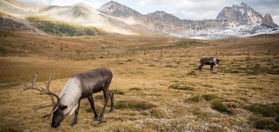Caribou in Canada. Photo © Lalenia Neufeld
