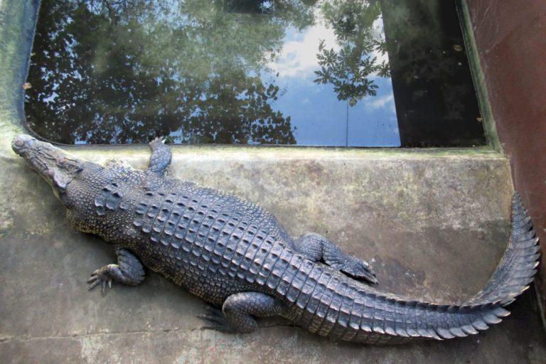 Deze zoutwaterkrokodil (Crocodylus porosus) wordt gehouden in het Palawan Wildlife Rescue and Conservation Centre in de buurt van Puerto Princesa, Palawan, de Filippijnen.  Afbeelding door David Stanley uit Nanaimo, Canada, CC BY 2.0, via Wikimedia Commons