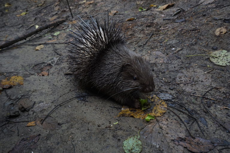 Trafficking for traditional medicine threatens the Philippine porcupine