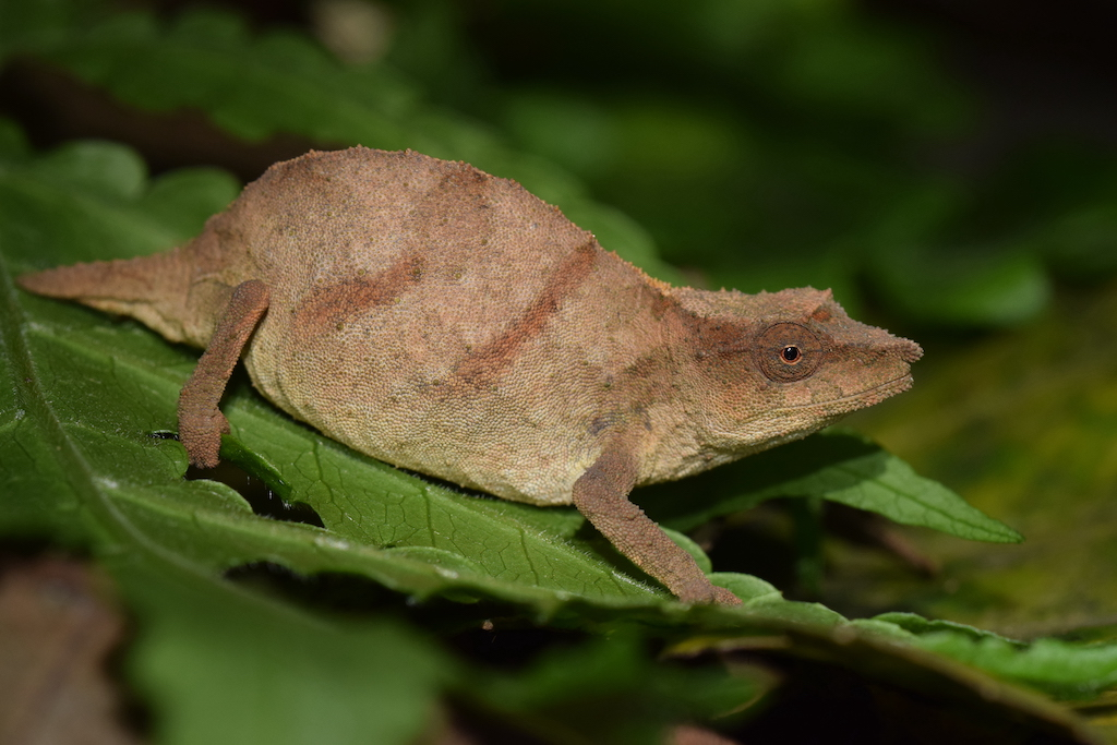 The Chapman's pygmy chameleon is one of the world's rarest chameleons. Few remain in small patches of forest in Malawi. Image by Krystal Tolley.