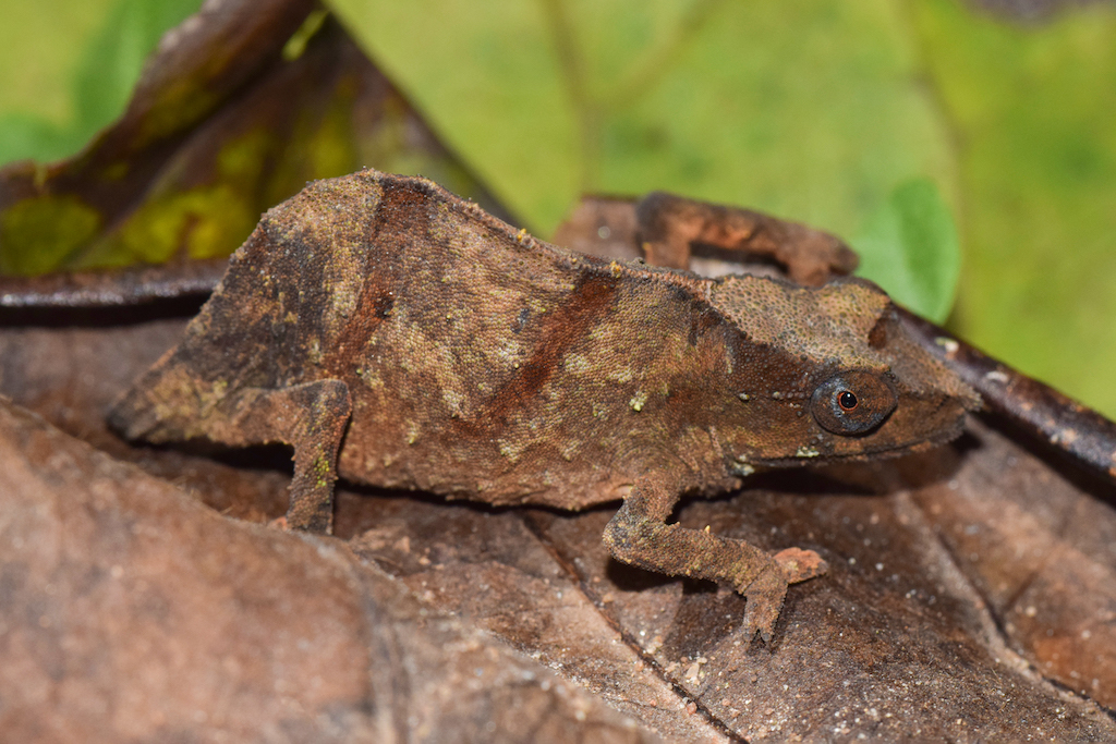 The Chapman's pygmy chameleon uses its camouflage to blend in with dry leaves on the forest floor. Image by Krystal Tolley