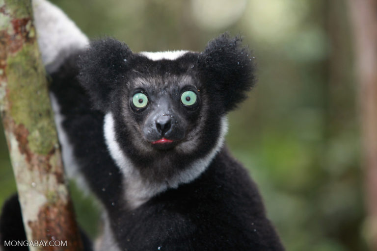 For Malagasy trapped in poverty, threatened lemurs and fossas are fair game