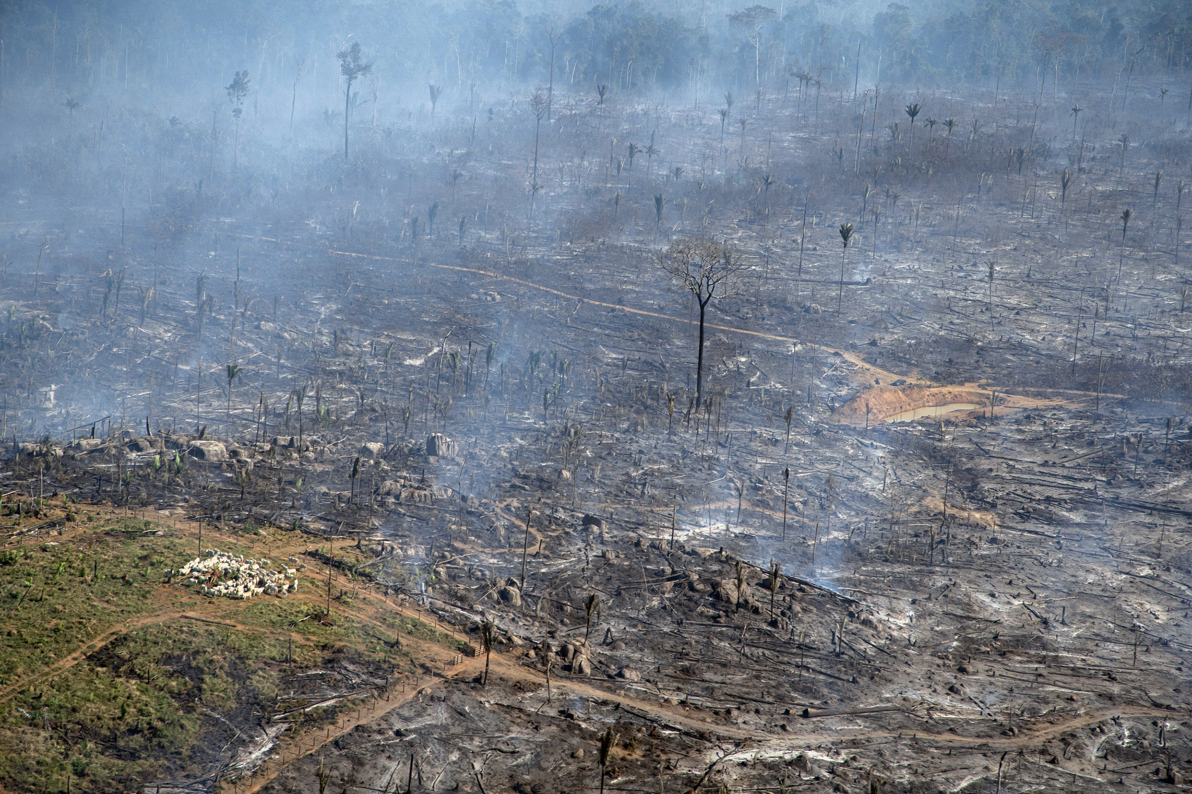 Deforested and burnt area already being used for cattle ranching in Porto Velho, Rondônia on July 30, 2021. Photo © Christian Braga / Greenpeace