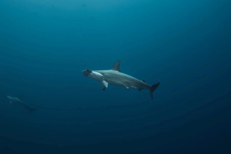 Hammerhead shark. Photo by Sandra Bessudo.