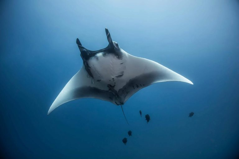 Manta ray. Photo by Sandra Bessudo.