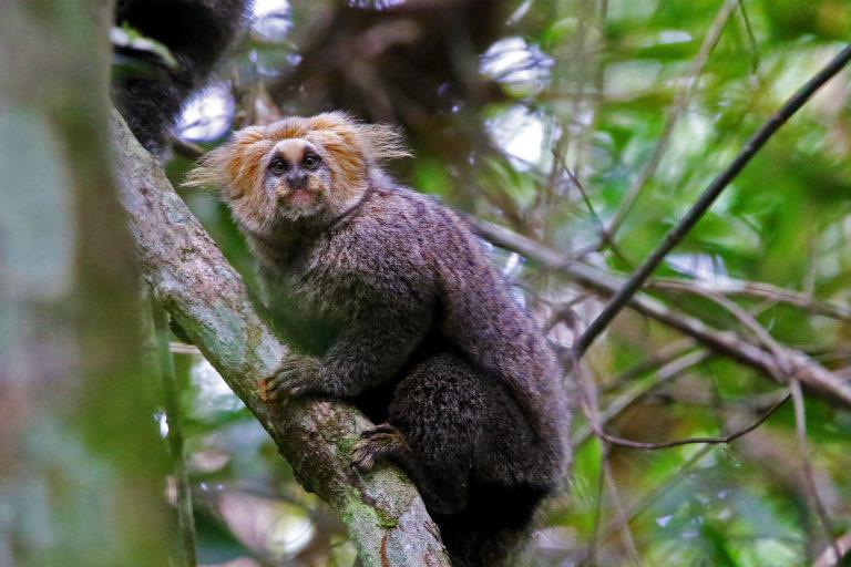 A buffy-headed marmoset