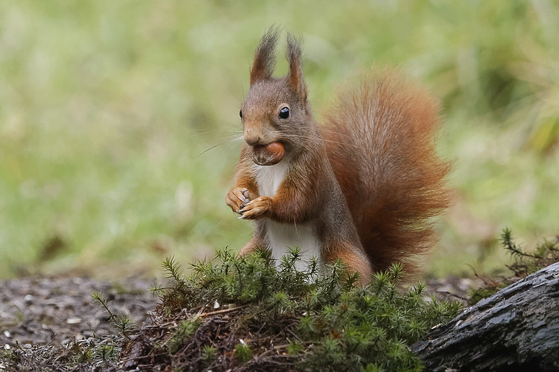 The red squirrel (Sciurus vulgaris) is a species of tree squirrel s common throughout Eurasia. Image by Zweer de Bruin via Flickr (CC BY-NC-ND 2.0)