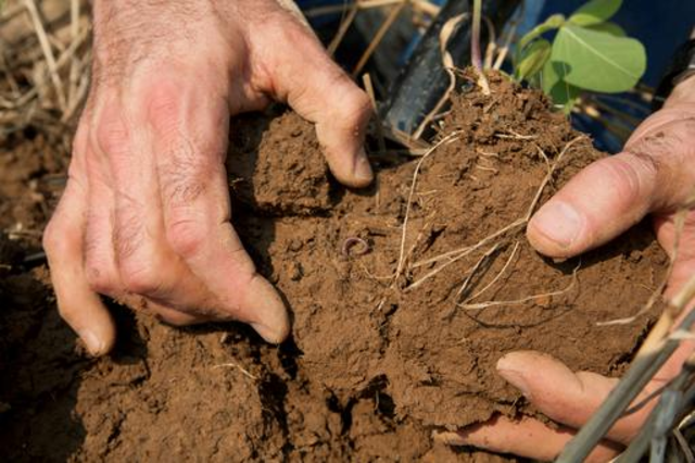 Plant roots exploring agriculturally-managed soil. Image by USDA National Resources Conservation Service via Wikipedia Commons (CC BY-SA 4.0).