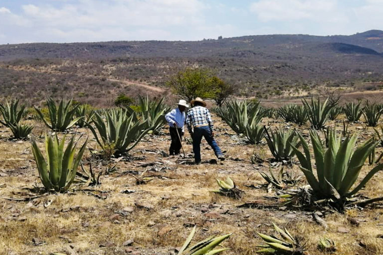 Growing agave in Mexico