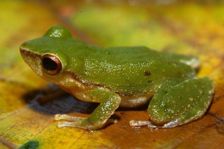Pristimantis padiali frog