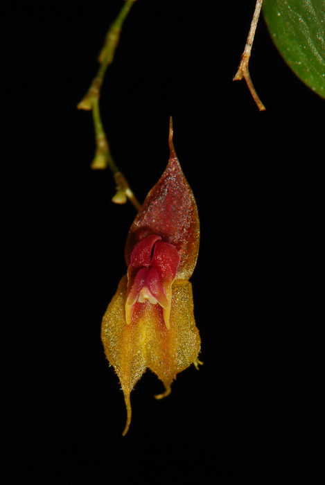 A close-up of the Lepanthes oro-lojaensis orchid flower, which measures 3 centimeters (1.2 inches). Image by Diego Francisco Tobar Suàrez.