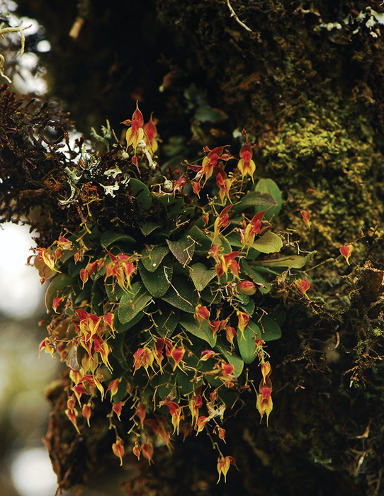 Lepanthes oro-lojaensis growing in its natural habitat. Image by Diego Francisco Tobar Suàrez.