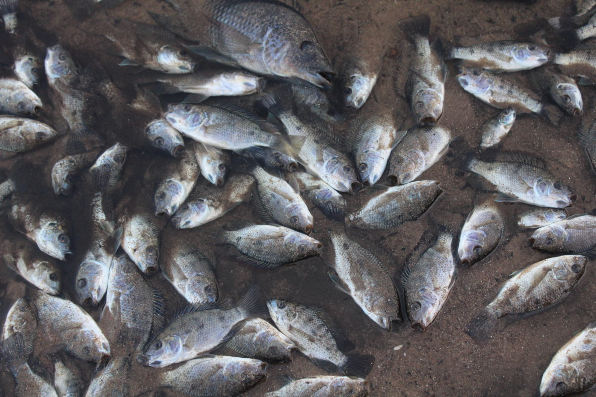 Dead fish on the banks of the Umhlanga Lagoon Nature Reserve following the UPL warehouse fire in Cornubia, outside Durban. Image by Ben Carnie.
