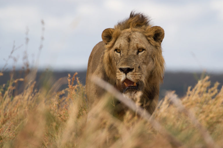 Male lion in Tanzania. Photo credit: Laly Lichtenfeld