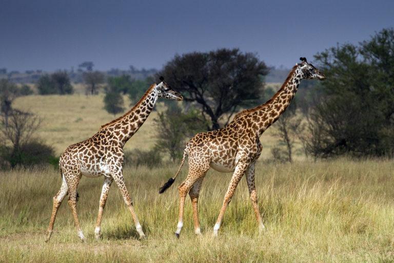 Maasai giraffes in Tanzania. Photo credit: Laly Lichtenfeld